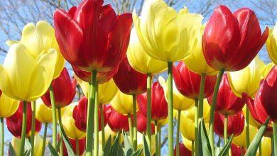Lale Çiçeğinin Bakımı Nasıl Yapılır